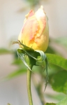 Yellow Rose bud from Maplewood Rose Garden for Fran Bliek