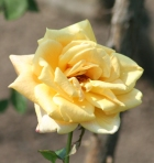 Yellow Rose for nancy Radzik story of prayer and believing