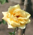 Yellow Rose for nancy Radzik story of prayer and believing