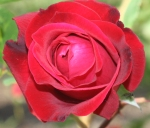 Red rose for Interlakes Oncology and Hematology